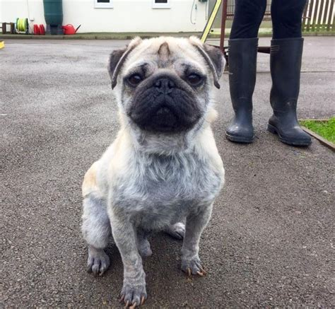pug rescue sussex 17 best images about dogs pugs in rescue on ash jim o rourke and my name is