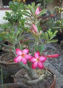 garden flowers and plants kalachuchi on a pot mama nene s garden
