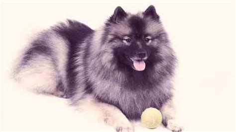 large fluffy breeds large white fluffy breeds quotes