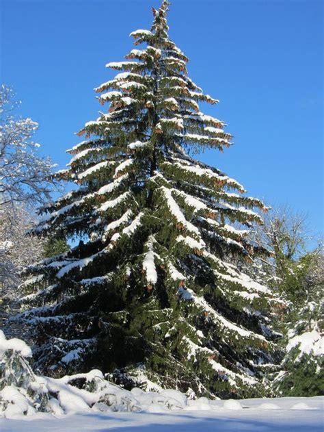 merry christmas tree  christmas christmas tree