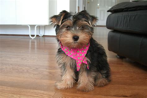 what is the expectancy of a yorkie lifespan terrier 1001doggy