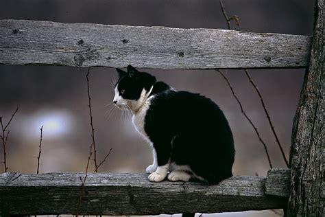 Cats Sitting On A Fence Wishing Iphone Semua Hp a cat sitting on a wooden fence photograph by george oze
