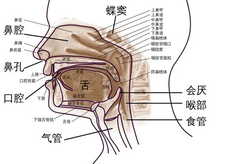 pharynx diagram file pharynx diagram zh svg wikimedia commons