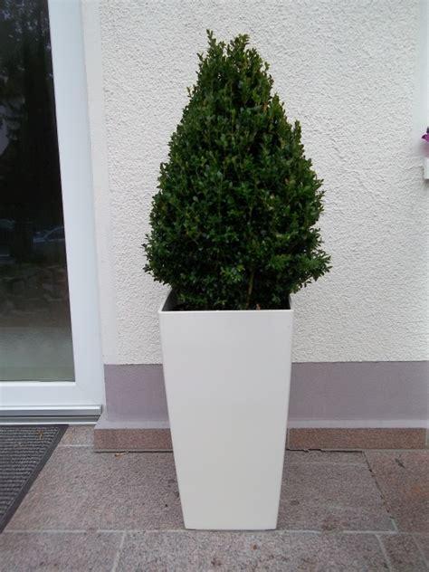 Bambus Im Kübel Pflanzen 2064 pflanzenvermietung und mietpflanzen berlin