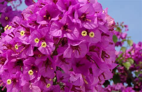 Attrayant Faire Un Jardin D Hiver #10: Dj_bougainvillier2_violet_de_meze_chromo.jpg