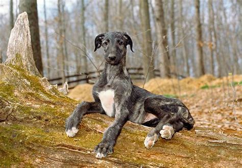 scottish deerhound puppies 17 best images about i scottish deerhounds on vintage lurcher