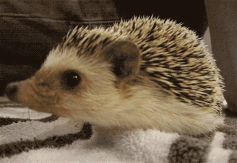 gif hedgehog animal wonderful animated gif  gifer  mightworm