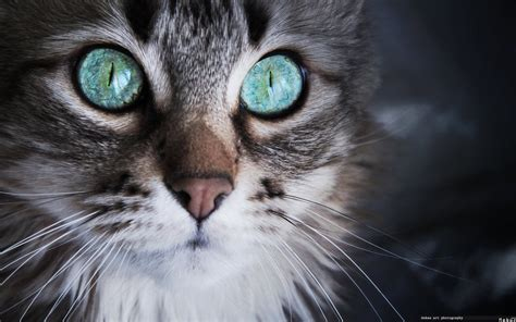 grey eyes wallpaper surprised cat with gray eyes wallpapers and images