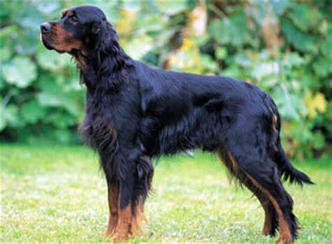 gordon setter guard dog setter dog breeds dogs reviewed huskies and malamutes