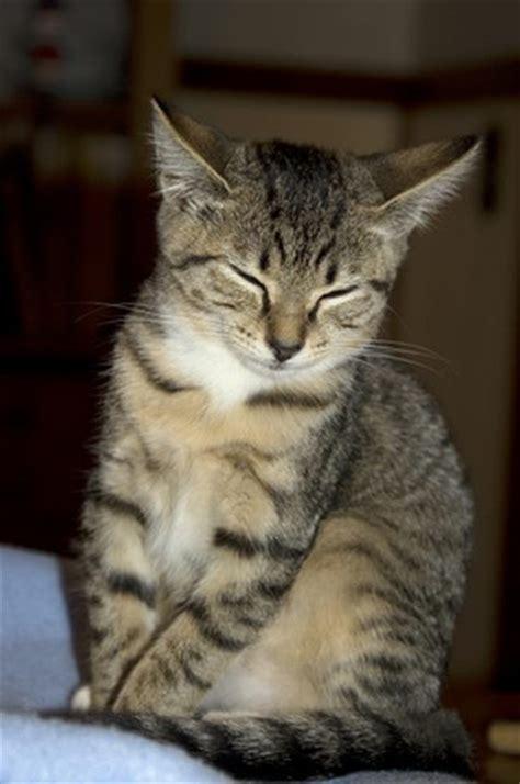 How Long Do Tabby Cats Live?   Pets