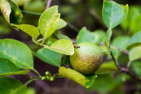 malattie limone in vaso malattie agrumi come intervenire in modo mirato fai da