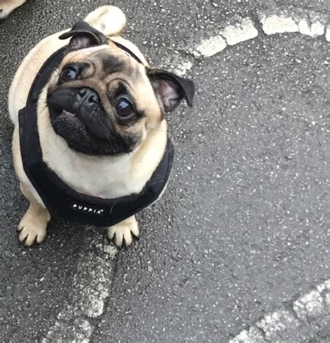 pugs for sale in hertfordshire pug for sale royston hertfordshire pets4homes
