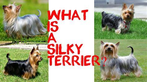 australian terrier vs yorkie what is a silky terrier funnydog tv