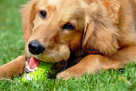 best bones for golden retriever puppies golden retriever portrait with bone stock photo colourbox