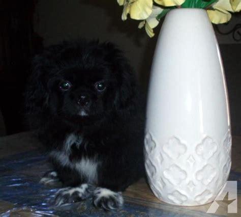 pekingese puppies for adoption akc black pekingese puppy for adoption 4 months for sale in
