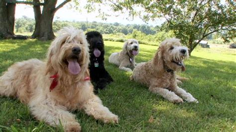 dogs 101 golden retriever animal planet goldendoodle dogs 101 animal planet