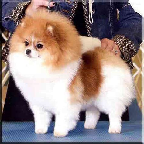 parti colored pomeranians chars pomeranians our