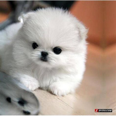 white miniature pomeranian puppy dogs mini pomeranian puppie