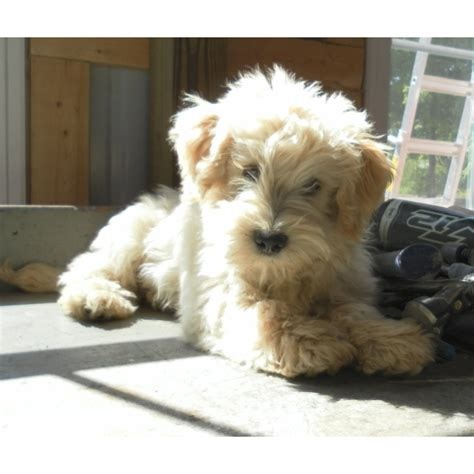 schnoodle puppies for sale in ohio schnoodle puppies for sale ohio breeds picture
