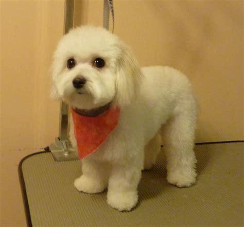 bich poo haircut bichon poo haircuts shih tzu bichon mix full grown