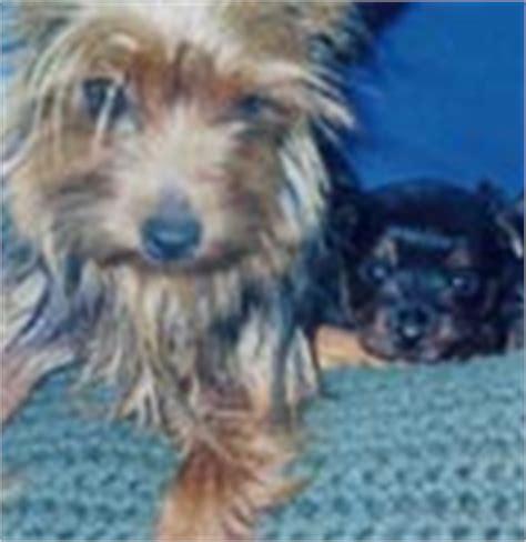 yorkie dental care terriers yorkie puppies breeder information san diego