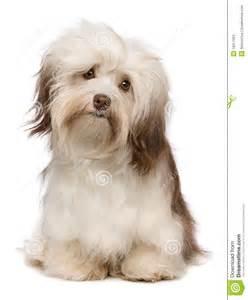 havanese de perro hermoso de havanese chocolate fotos de archivo imagen 18317263