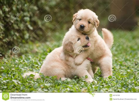 two puppies two golden retriever puppies stock photo image 45116795