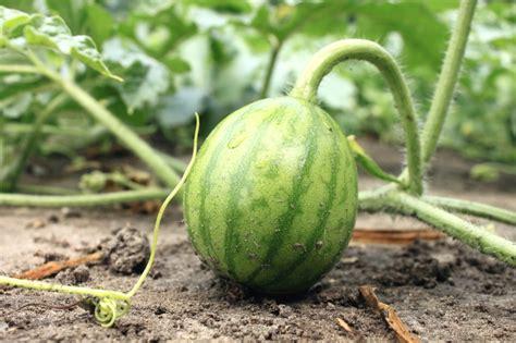 melonen im garten wassermelone im garten anbauen 187 so gelingt s
