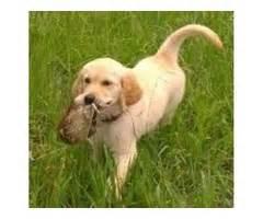 golden retriever puppies bakersfield adorable bulldog puppies for re homing animals kansas city missouri