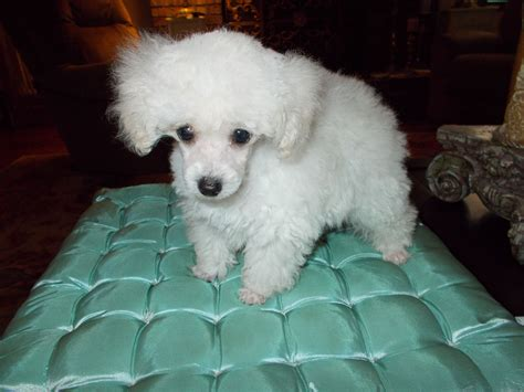 lifespan of teacup poodle teacup poodle breeders florida dogs in our photo