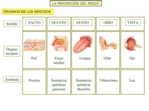 imagenes de organos sensoriales est 237 mulo y respuesta receptores y efectores 2008 9