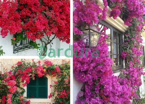 cobain ide kreatif  membuat taman bunga bougenville