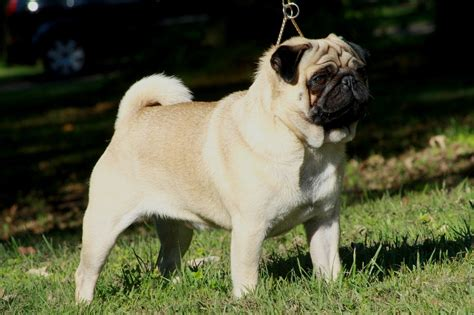 what is a pug bred for pug history