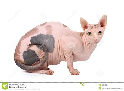 Sphynx Cat Stock Images   Image: 6863724