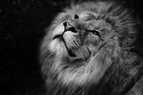 White Zoo free images black and white zoo africa feline fauna