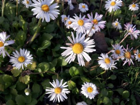 pratolina fiore pratolina margheritina