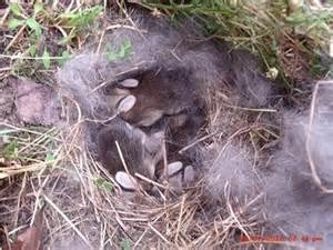 feldhase im garten fund wildkaninchen und feldhasen seite 3 kaninchen