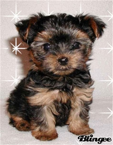 cutest yorkie in the world cutest yorkie in the world puppy