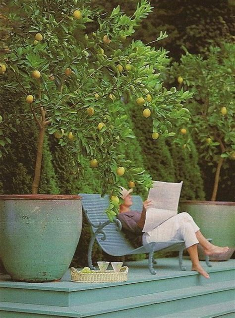 backyard lemon tree lemon trees garden design pinterest