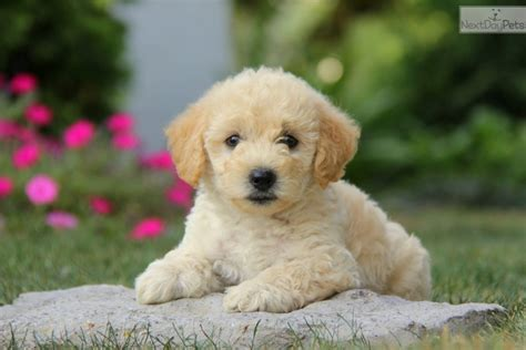 poodle mix puppies near me mixed other puppy for sale near lancaster pennsylvania 5b79655a 2221
