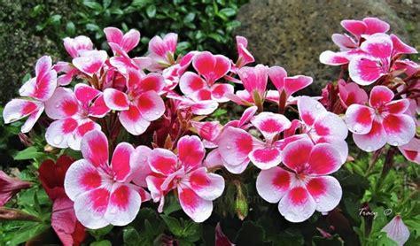 Tanaman Hias Bunga Geranium Pink 24 jenis tanaman hias tahan panas matahari