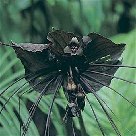 fiore pipistrello tacca chantrieri tropicale fiore pipistrello forum di