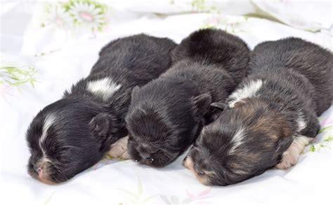 craigslist yorkies yorkie puppies for sale in craigslist breeds picture breeds picture