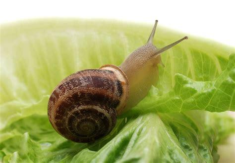 backyard snails garden snail snail facts and information
