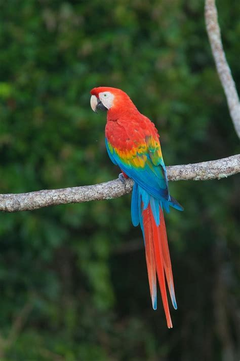 scarlet macaw facts care as pets housing feeding