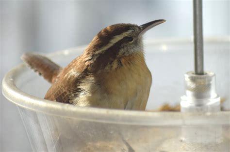 carolina wren in the mealworm feeder feederwatch
