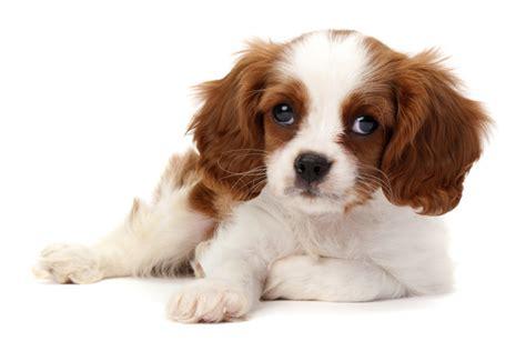 honden te koop pup kopen sophia vereeniging