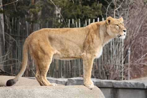 full body lioness tattoo file lioness 12 jpg wikimedia commons