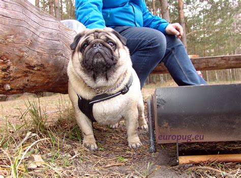 how to a pug to outside the pug valli at outdoor