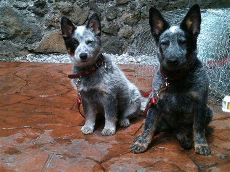 blue heeler pattern 1000 images about pets on pinterest best dogs red and